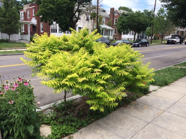 staghorn sumac full June